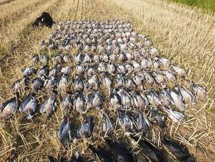 Belle journéee de chasse aux palombes su