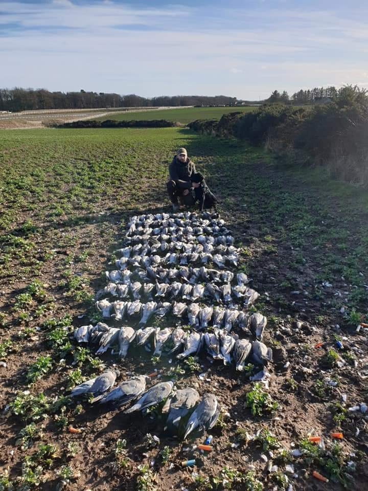 CHasse palombes Irlande