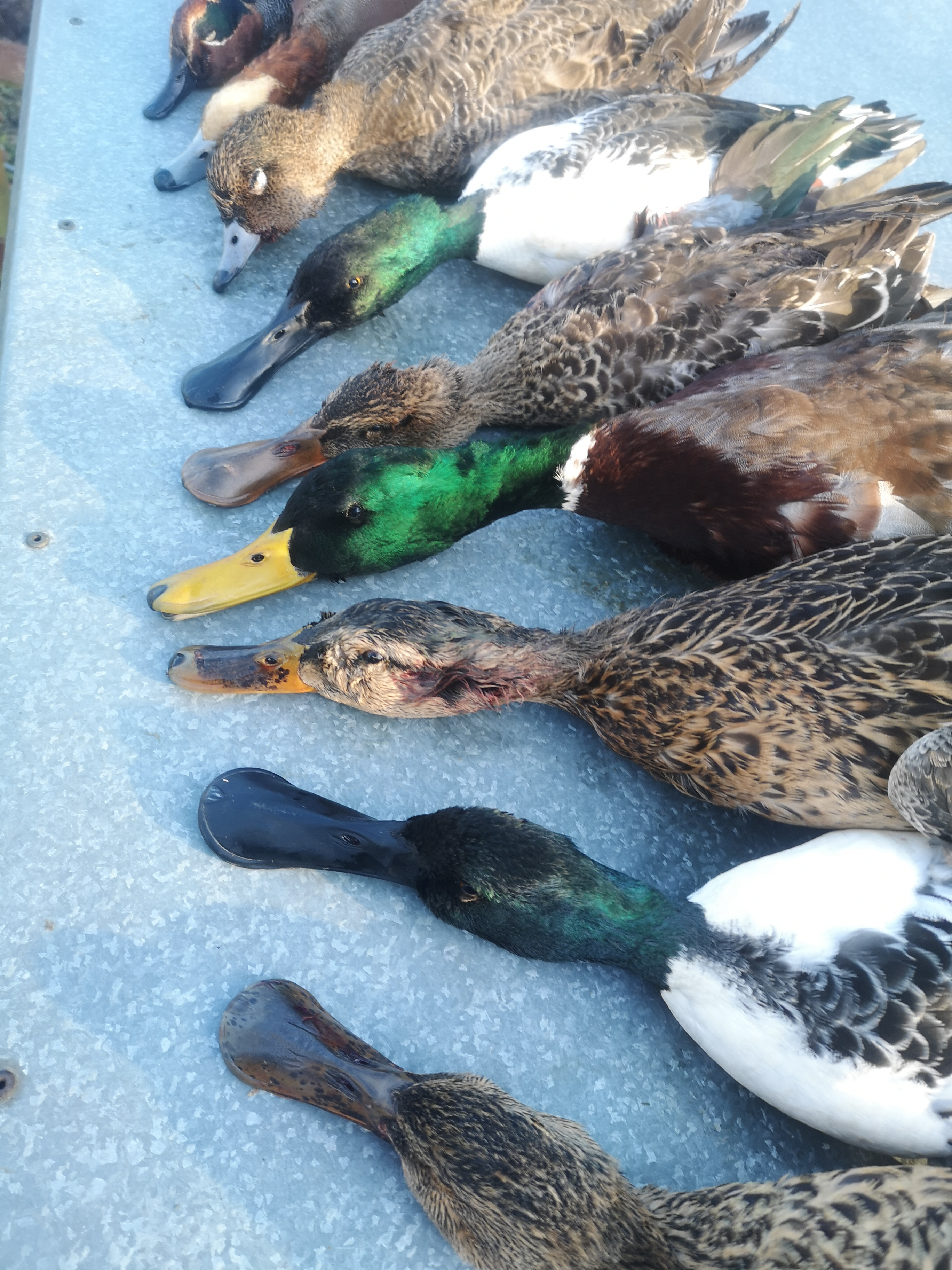 chasse aux canards Ecosse