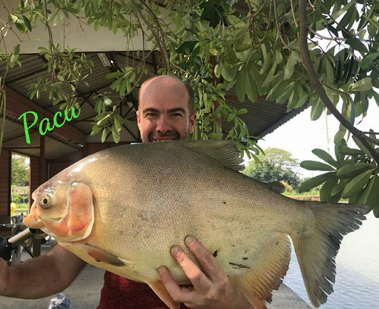 Pacu Thailand