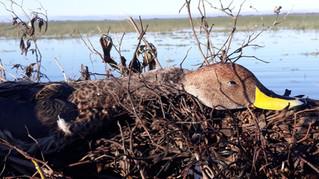 Chasse aux canards en Argentine