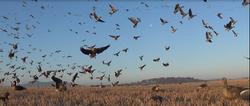 chasse des oies en Ecosse