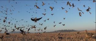Chase aux oies Destination chasse pêche