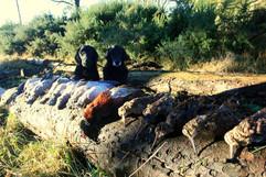 Chasse mixte faisans et bécasses en Ecos