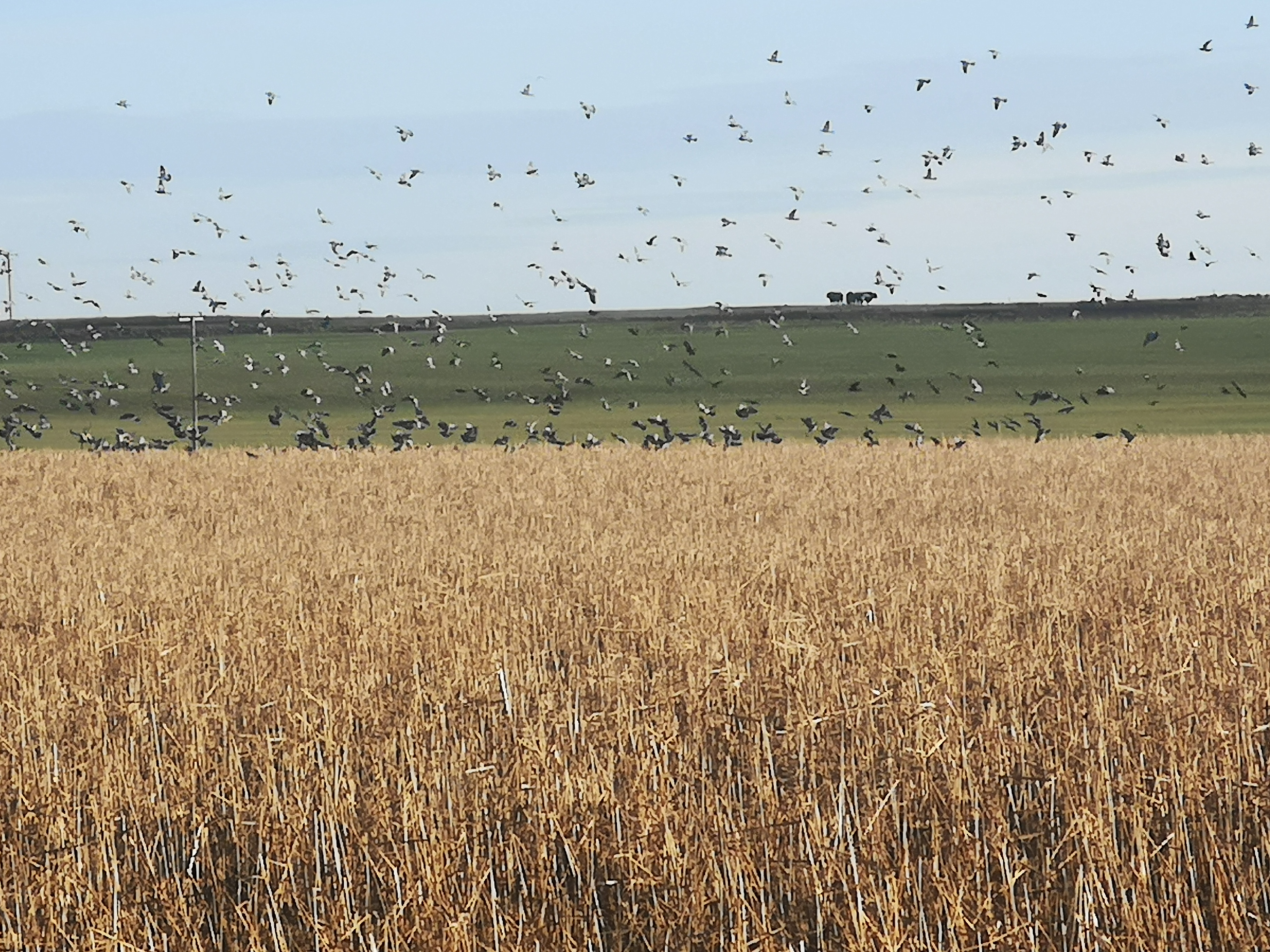 CHASSE PALOMBES ECOSSE
