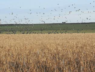 Des milliers de palombes