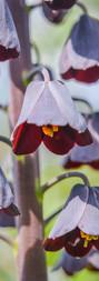 Fritillaria2.jpg