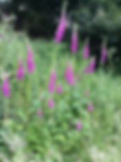 foxglove woodland