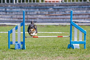 AKC Obstacle.jpg