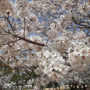 동네에서 꽃구경 近所で花見