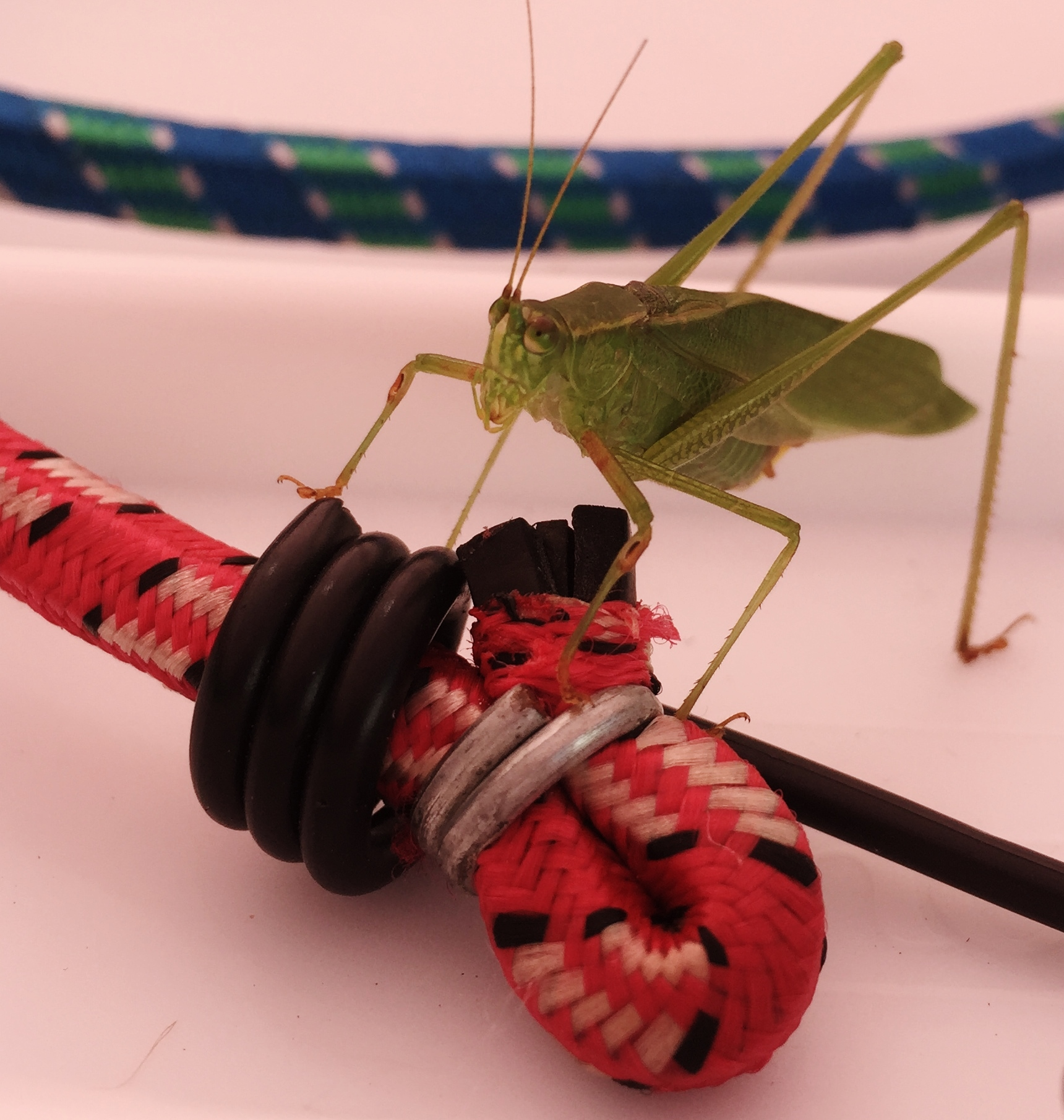 Praying mantis on bungee cord