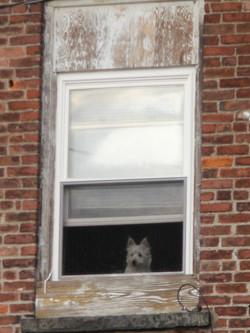 'Westie in window'