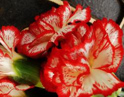 'Mini painted carnations'