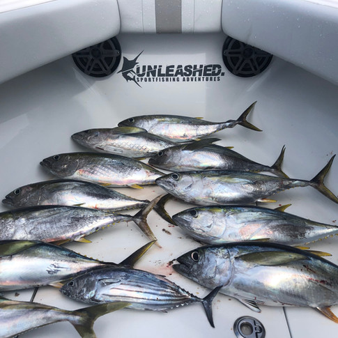 Few Yellowfin Tune on the Jig and Surface Lures. Gold Coast Sportfishing Charters