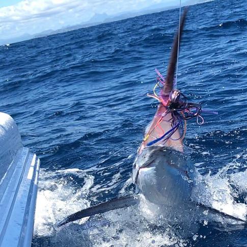 Gold Coast Black Marlin