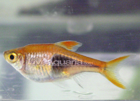Golden Harlequin Rasbora