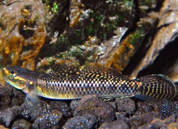 Neon Blue Goby