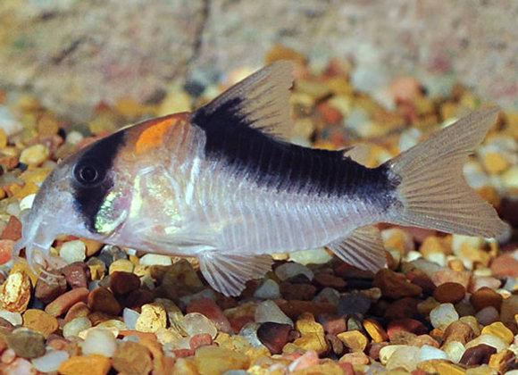 Adolfoi Cory Catfish