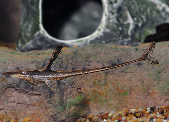 Royal Farlowella Catfish