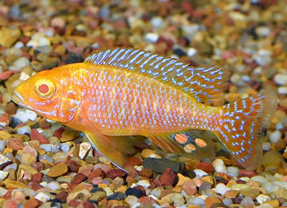 Albino Peacock Cichlid