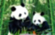 熊猫图片.jpg