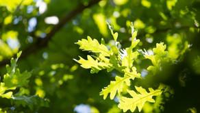 Sudden oak death pathogen found in plants sold at Walmart, Rural King