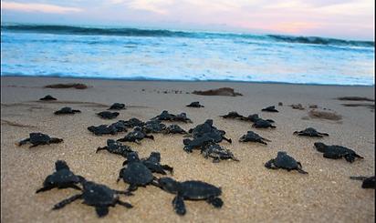liberacion de tortugas en guayabitos.web