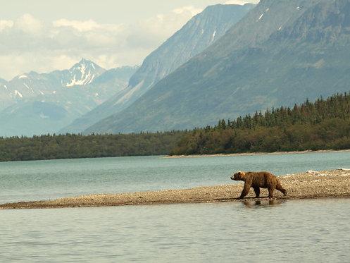 Naknek Bear, Alaska