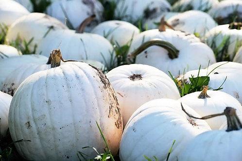 Medium White Pumpkins