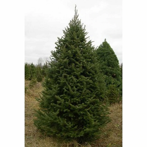 Balsam Fir Christmas trees