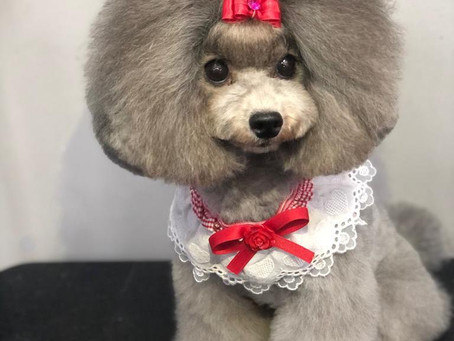 Poodle Asian Style Grooming in Malaysia