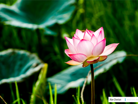 Why is the Lotus Flower a sign of Enlightenment?