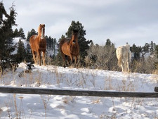 The horses of Whisper Ranch at Wolf Creek, Montana.  These belong to a neighbor and we have grown attached.