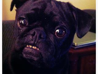 Dog-ology:  Pug