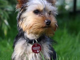 Dog-ology:  Yorkshire Terrier