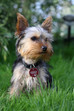 Dog-ology:  Yorkshire Terrier