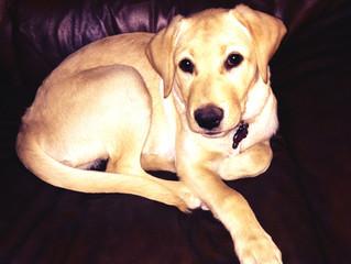 Dog-ology:  Labrador Retriever