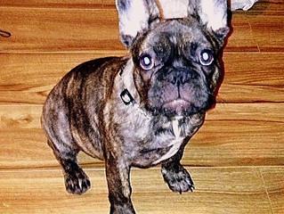 Dog-ology:  French Bulldog