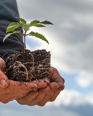 Farmer Holding a Cannabis Plant, Grown b