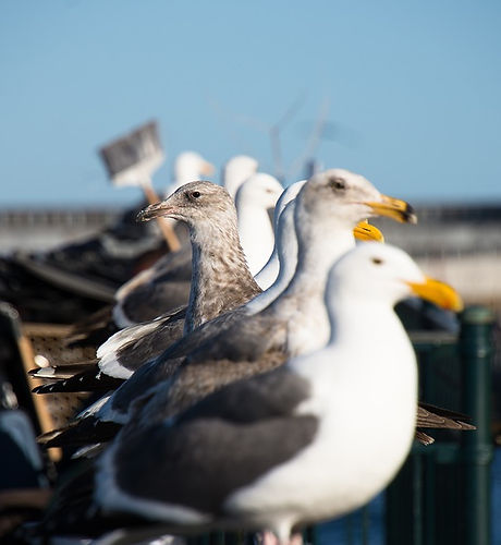 Pier-Gulls-Water-Birds-Seagulls-Dock-124