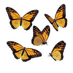 monarch-vector-art-several-different-views-butterfly-poses-191079024_edited.png