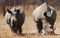 Rhino, Zimbabwe