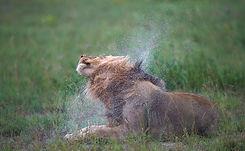 Lion au parc de Moremi,Botswana