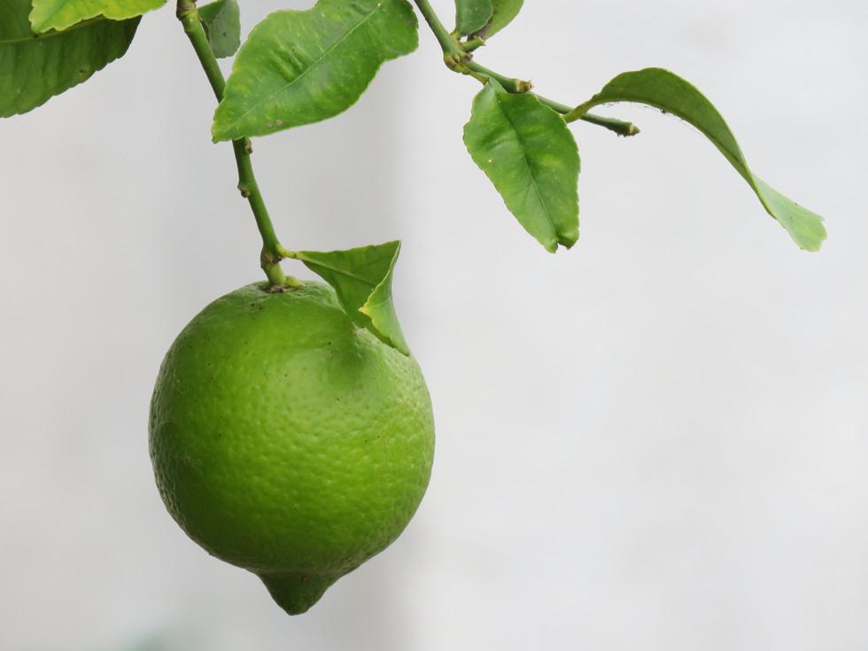 Limón Verde (4608 x 3456).JPG