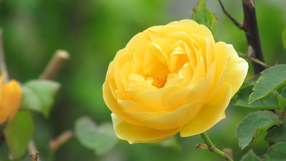 Rosa Amarilla  (3744 x 2104).JPG