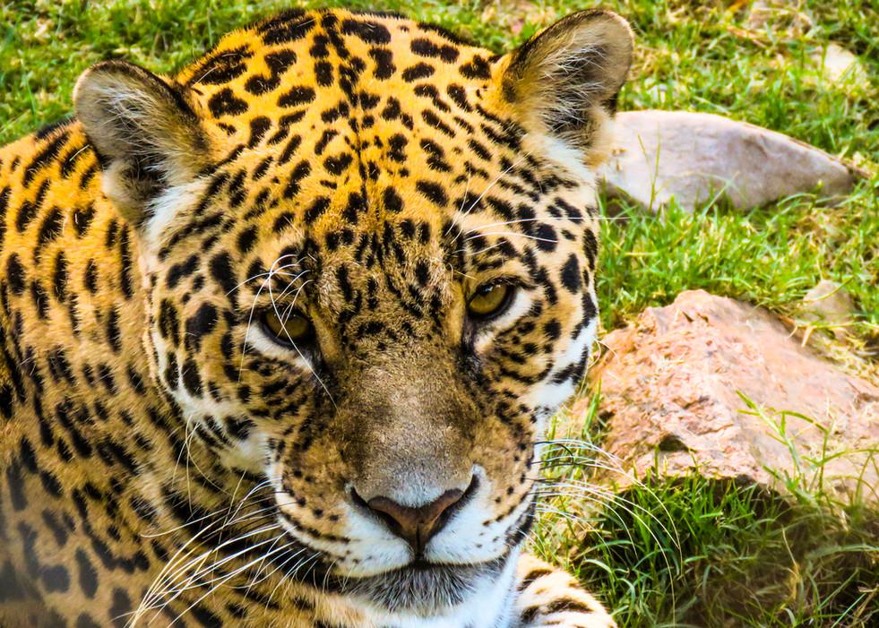 Jaguar Zoo (4608 x 3456).jpg