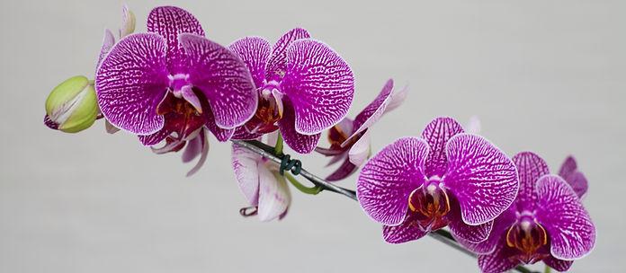orquidea roxa