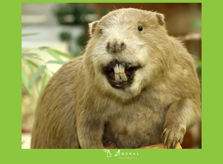 Eager Beaver to Vote?