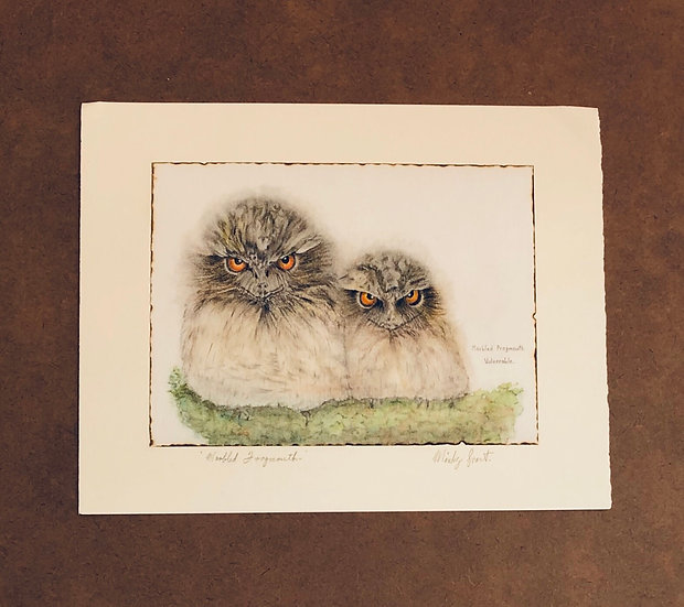 Marbled tawny frogmouth chicks