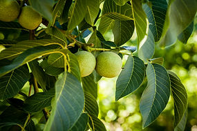 Walnuts Orchards